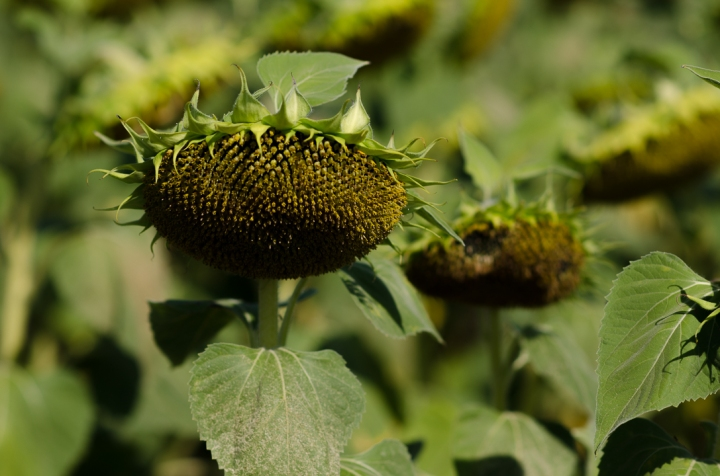 Sunflower france (1 von 1)